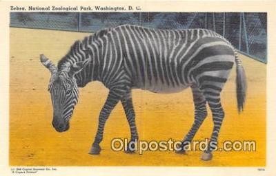 yan230009 - Washington DC, USA Zebra, National Zoological Park Postcard Post Card