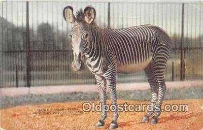 yan230012 - New York Zoological Park, USA Grevey Zebra Postcard Post Card