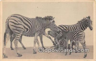 yan230013 - Chicago, IL, USA Transvaal Zebra, Field Museum of Natural History Postcard Post Card