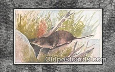yan230031 - Common Shrew Postcard Post Card