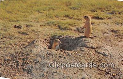 yan230037 - Prairie Dog Postcard Post Card