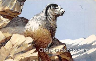 yan230039 - Painted by Maynard Reece Hoary Marmot Postcard Post Card