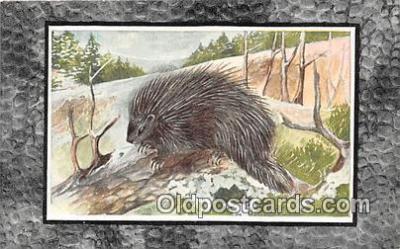 yan230040 - Canada Porcupine Postcard Post Card