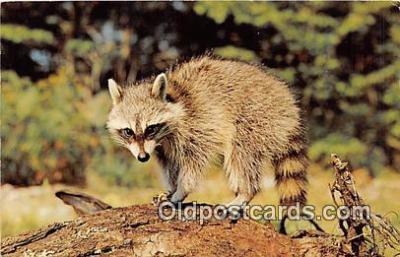 yan230042 - Somerset, PA, USA Mr Raccoon Postcard Post Card