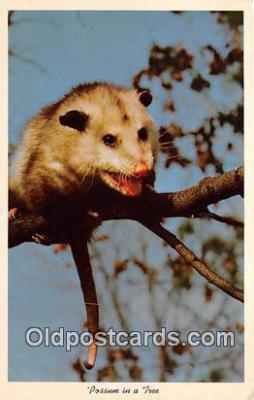 yan230044 - Possum Postcard Post Card
