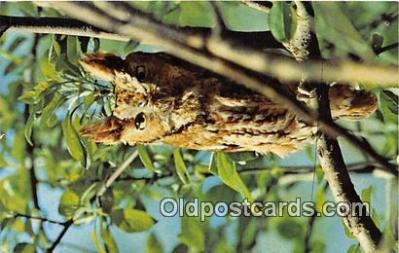 yan230061 - Wilmot, Ohio, USA Screech Owl Postcard Post Card