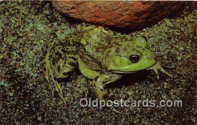 yan250013 - Rana Catesbeiana Bullfrog Postcard Post Card