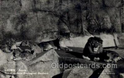 zoo001026 - Lions, San Francisco Zoological Gardens San Francisco, CA, USA Postcard Post Cards Old Vintage Antique