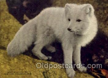 zoo001051 - Arcitic Fox, New York Zoological Park New York, USA Postcard Post Cards Old Vintage Antique