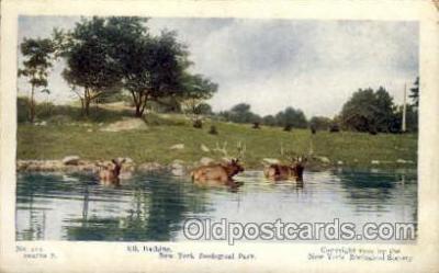 zoo001057 - Elk Bathing, New York Zoological Park New York, USA Postcard Post Cards Old Vintage Antique