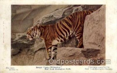 zoo001061 - Bengal Tiger, New York Zoological Park New York, USA Postcard Post Cards Old Vintage Antique
