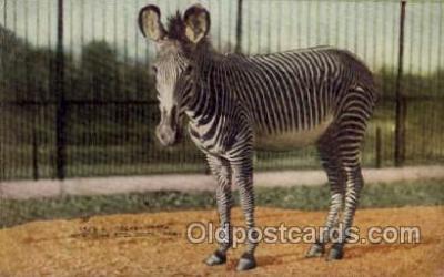 zoo001075 - Grevey Zebra, New York Zoological Park New York, USA Postcard Post Cards Old Vintage Antique