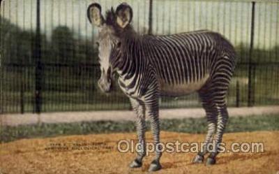 zoo001081 - Grevey Zebra, New York Zoological Park New York, USA Postcard Post Cards Old Vintage Antique
