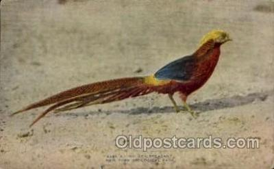 zoo001082 - Golden Pheasant, New York Zoological Park New York, USA Postcard Post Cards Old Vintage Antique