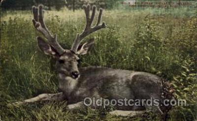 zoo001090 - Mule Deer, New York Zoological Park New York, USA Postcard Post Cards Old Vintage Antique