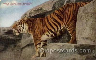 zoo001096 - Malay Tiger, New York Zoological Park New York, USA Postcard Post Cards Old Vintage Antique