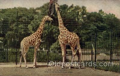 zoo001101 - Giraffes, New York Zoological Park New York, USA Postcard Post Cards Old Vintage Antique