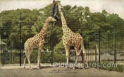 zoo001128 - Giraffes, New York Zoological Park New York, USA Postcard Post Cards Old Vintage Antique