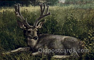 zoo001130 - Mule Deer, New York Zoological Park New York, USA Postcard Post Cards Old Vintage Antique