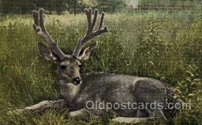 zoo001137 - Mule Deer, New York Zoological Park New York, USA Postcard Post Cards Old Vintage Antique