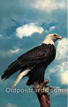 yan010001 - American Bald Eagle Postcard Post Card