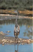 yan010007 - Ithaca, NY, USA Great Blue Heron Postcard Post Card