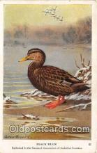 yan010043 - Black Duck Postcard Post Card