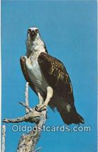yan010047 - Florida, USA Osprey, Evergaldess National Park Postcard Post Card