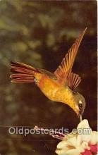 yan010060 - Brazil, San Diego Zoo, USA Brazilian Broze Hummingbird Postcard Post Card