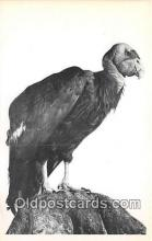 yan010067 - Los Angeles County Museum of Natural History, USA California Condor Postcard Post Card