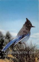 yan010101 - Steller Jay, Bluejay Postcard Post Card