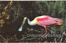 yan010111 - Everglades National Park, FL, USA Roseate Spoonbill Postcard Post Card