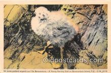 yan010117 - Bonaventure Island, PQ Young Herring Gull Postcard Post Card