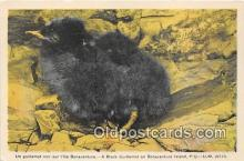 yan010118 - Bonaventure Island, PQ Black Guillemot Postcard Post Card