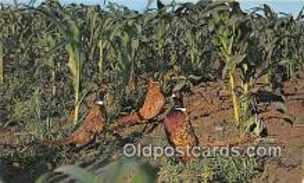 yan010121 - South Dakota, USA Chinese Ring Neck Pheasants Postcard Post Card