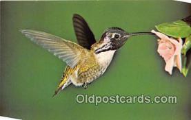 yan010122 - Photo by Alberta Shoemaker Costa's Hummingbird Postcard Post Card