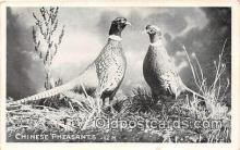 yan010123 - Chinese Pheasants Postcard Post Card