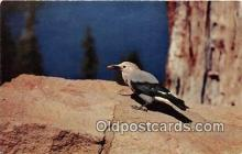 yan010126 - Crater Lake National Park, USA Clark's Nutcraker Postcard Post Card