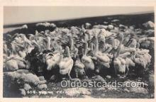 yan010146 - Young Pelicans Postcard Post Card