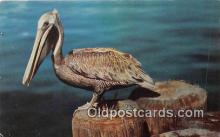 yan010153 - Pelican Postcard Post Card