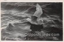 yan010160 - Iceland Gull Postcard Post Card