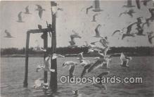 yan010162 - Sea Gulls Postcard Post Card