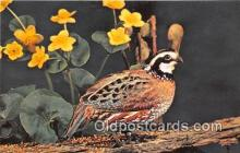 yan010188 - Ithaca, NY, USA Bobwhite Postcard Post Card