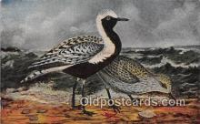 yan010207 - Black Bellied Plover Postcard Post Card