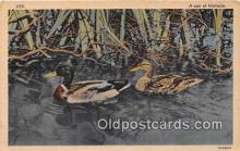 yan010219 - Pair of Mallards Postcard Post Card