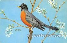 yan010227 - North American Robin Postcard Post Card