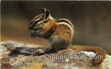 yan020001 - Chipmunk Postcard Post Card