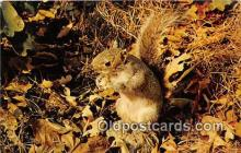 yan020008 - Adirondack Mountains, NY, USA Squirrel Postcard Post Card