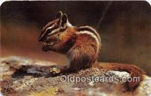 yan020018 - Chipmunk Postcard Post Card