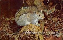 yan020028 - Grey Squirrel Postcard Post Card